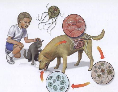 giardiacyclus2