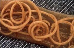 spoelwormen1